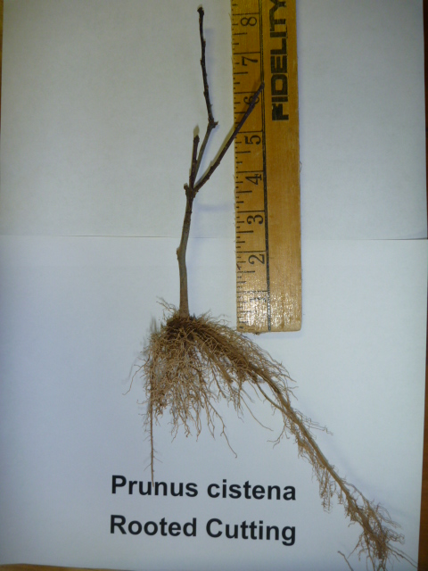 Prunus cistena rooted cutting liner