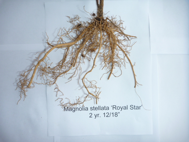 Magnolia Royal Star two year liner roots
